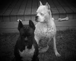boxer dog black and white dog breed gallery boxer puppies black and white