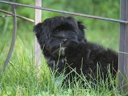 affenpinscher for sale near me heavenly u0027s puppies for sale