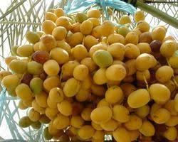 fresh dates fruit dates fruit shreeji import and export exporter in halvad