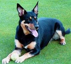 kelpie x australian shepherd favorite dog breeds general discussion mlp forums