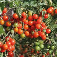 hanging tomato plants at thompson morgan