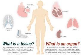 Parts Of A Tissue Tissues Lessons Tes Teach