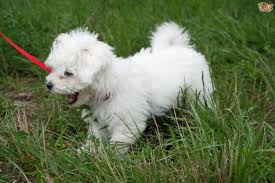 bichon frise long legs bolognese dog breed information buying advice photos and facts
