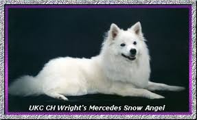 american eskimo dog rescue michigan angelheart eskies american eskimo dogs mercy u0027s page