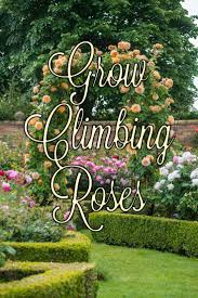 create beautiful walls of color with climbing roses from heirloom