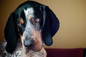 File Bluetick Coonhound Wikimedia mons