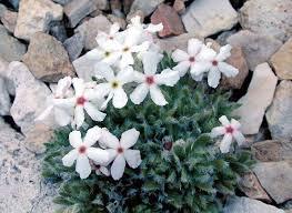 androsace villosa v jacquemontii north american rock garden society