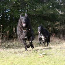 belgian sheepdog for sale in texas belgian sheepdog rescue trust home facebook