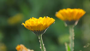 yellow blooming dandelion in the grass medicinal and useful