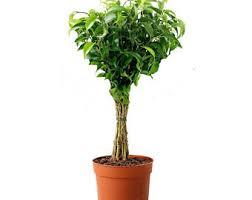 ficus tree etsy