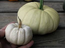 white pumpkins island seed project a white pumpkin