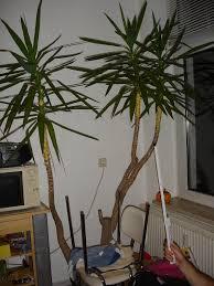 Yucca Wohnzimmer Yuccapalme Kürzen Das Große Lexikon Der Zimmerpflanzen