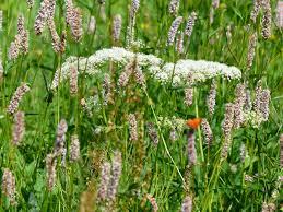 free images field prairie flower herb produce crop botany