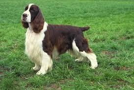 serena parker afghan hound judge english springer spaniel puppies fun animals wiki videos