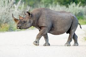 black rhinoceros wikipedia