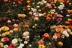 carlsbad flower garden this picnic took place in a rainbow field of ranunculus flowers