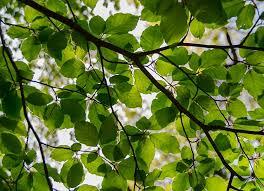 common beech tree fagus sylvatica