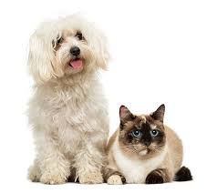 bichon frise and cats bichon frise dog sitting and facing isolated on white pictures