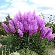 egrow 200pcs pas grass seed potted purple pas grass garden