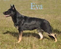 belgian shepherd for sale in pakistan german shepherd puppy breeder ma german shepherd dog training