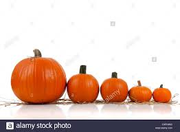 halloween white background a row of halloween or fall pumpkins larger to smaller with straw