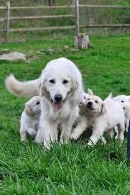belgian sheepdog golden retriever mix zeus golden retriever belgian shepherd and lab mix my pets