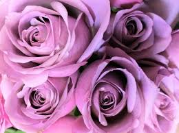 the enchanted petal lovely is the rose