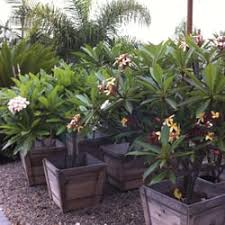 Plumerias Plumerias By The Sea Nurseries U0026 Gardening North County San