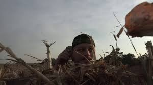 cornfield layout blind goose hunt 2017 youtube