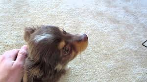 australian shepherd 14 weeks my new toy australian shepherd youtube