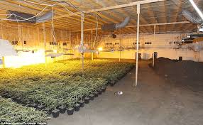biggest house plants pictured britain s biggest cannabis farm with 2m worth of weed