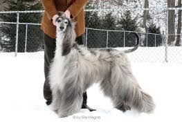 afghan hound puppies ohio afghan hounds breeder