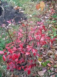 shrubs u0027 colors enhance fall hoosier gardener