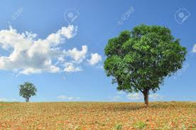 big and small trees in the field with blue sky stock photo