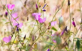 california native plant garden wild flowers in wild meadows