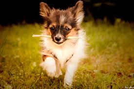 Wallpaper Dogs Nature Animals Grass Dogs Puppies Papillon Wallpaper
