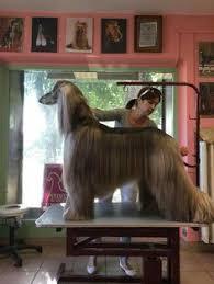 afghan hound rescue england lévrier afghan afghan hound toile art print par nobility dogs