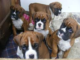 10 boxer dog facts red boxer dogs red u0026 white boxer puppies including bobtails