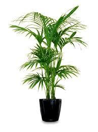 best low light indoor trees 18 best large indoor plants for home large indoor plants plants