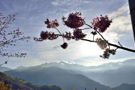ornamental cherry tree diseases