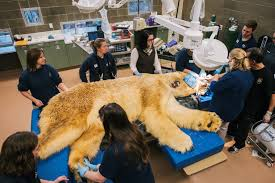 Pdza Zoo Lights by Boris The Polar Bear At Point Defiance Zoo Has 3 Teeth Pulled