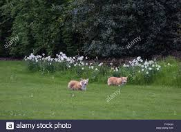 windsor uk 22nd april 2016 two of the queen u0027s corgi dogs being