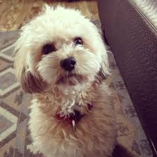 haircutsfordogs poodlemix maltipoo dogs cute maltipoo1 com pinterest dog maltipoo