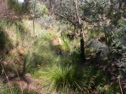 canberra native plants weeds u2013 friends of mount majura