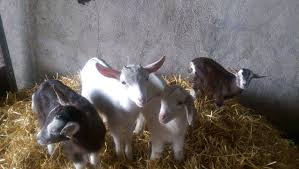 interview goat farming in county galway thatsfarming com