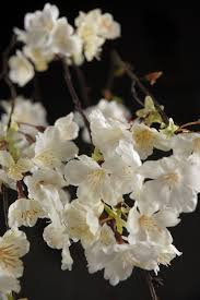white cherry blossom hanging cherry blossom branches white silk artificial 58