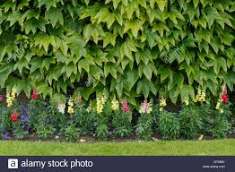 Japanese Garden Walls by Parthenocissus Tricuspidata Boston Ivy Japanese Creeper On A
