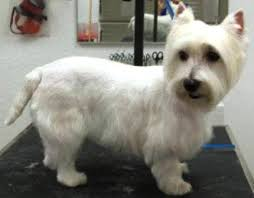 images of westie hair cuts mod dog boca grooming pictures