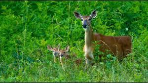 feeding deer in virginia will soon be illegal