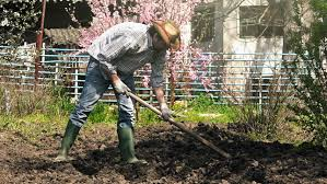 man hoeing vegetable garden soil on organic farm preparing ground